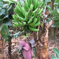 Bananen Plantagen auf dem Weg Aguas Calientes