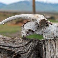 Schafsschädel