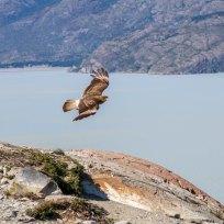 Falke im Flug erwischt von Fränzi