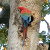 Red-and-green Macaw Papagei