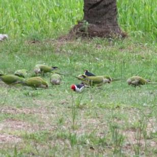 Monk Parakeet Papageien und Red-crested Cardinal Vögel beim Frühstück