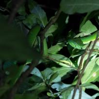 Grüne Viper auf der Nachttour