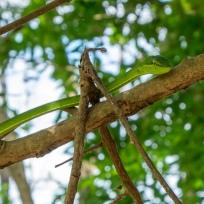 Grüne Peitschnatter