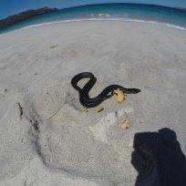 Giftige Plättchen-Seeschlange