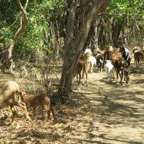 Schafsherde im Chargo Verde