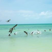 Pelikane beim Jagen