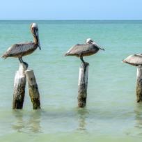 Die drei Stufen des Pelikans ;)
