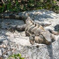 Iguana am Sonne geniessen