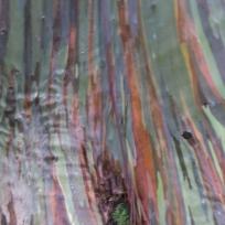 Regenbogenbaum (Eukalyptus)