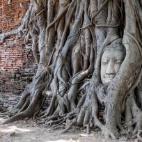 Eingewachsener Buddhakopf in Ayutthaya