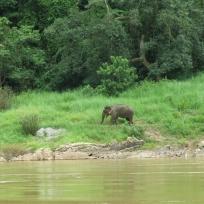 Wilder Elefant am Ufer des Mekong
