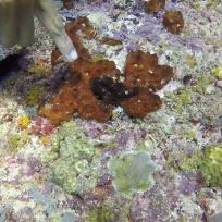 Gut getarnter kleiner Frogfish
