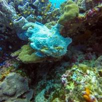 Ein wunderschöner grosser Frogfish