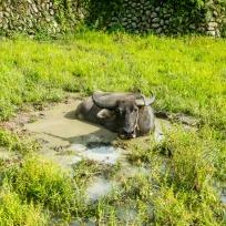 Der Wasserbüffel geniesst das abkühlende Nass