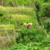 Philippinischer Reisfeldarbeiter