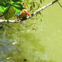 Ein Kingfisher in Lauerposition