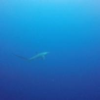 Thresher Shark gesichtet in Moalboal