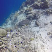 Schildkröte gesehen in Moalboal